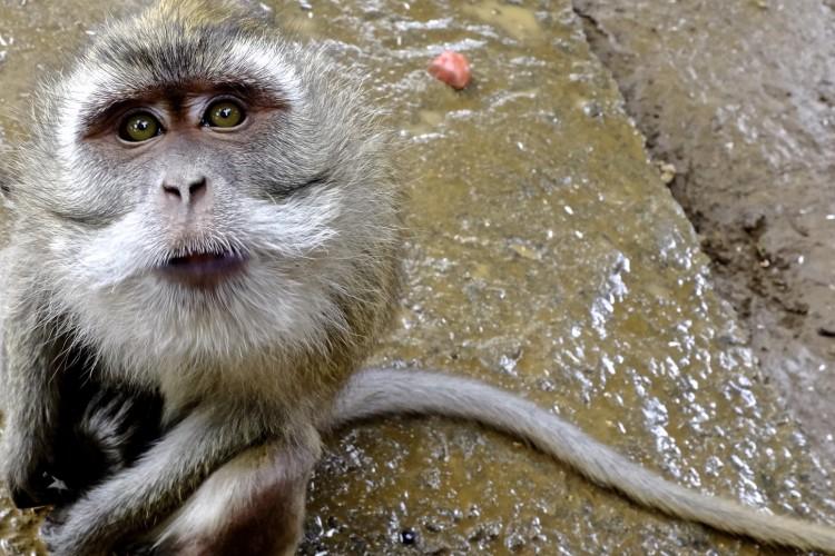 Maccac Monkey