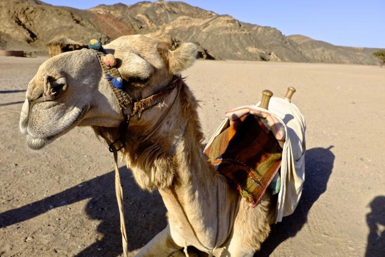 Camel Kneeling